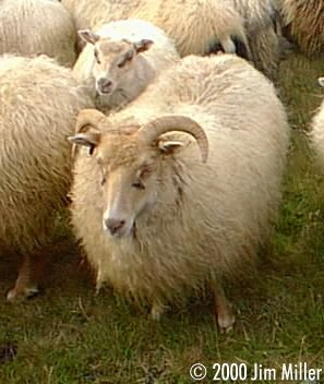 Icelandic Sheep © 1998 Jim Miller - Olympus D-220L